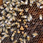 Nurse bees and larvae